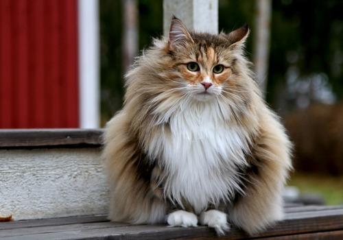 Die Norwegische Waldkatze Ein Echter Wikinger Stories